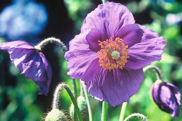 purple and yellow poppy variety