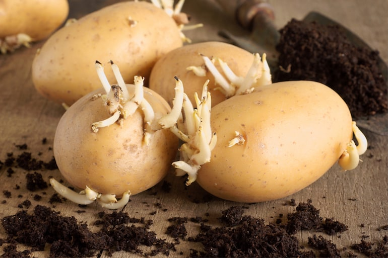 sprouting seed potatoes