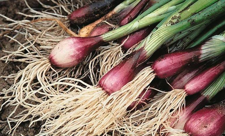 bunch of red spring onions