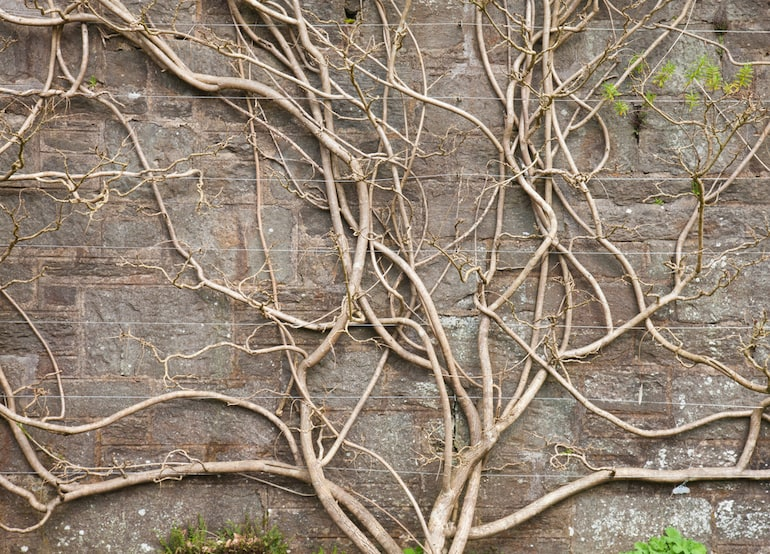 bare wisteria tree against a brick wall