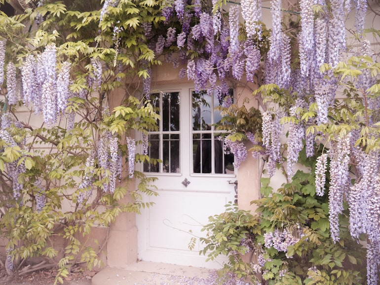 wisteria overhanging a white door