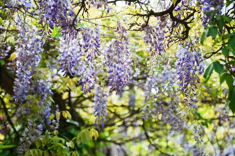 purple blooms of chinese wisteria against a green leafy background