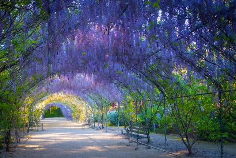 purple and green wisteria tunnel