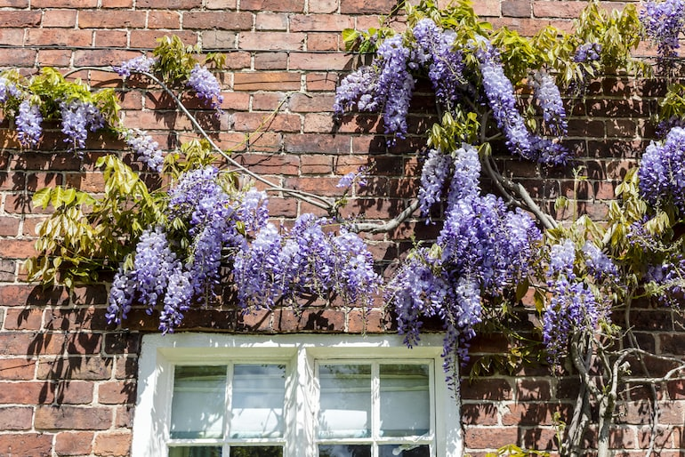 purple wisteria against a red brick and above a white window