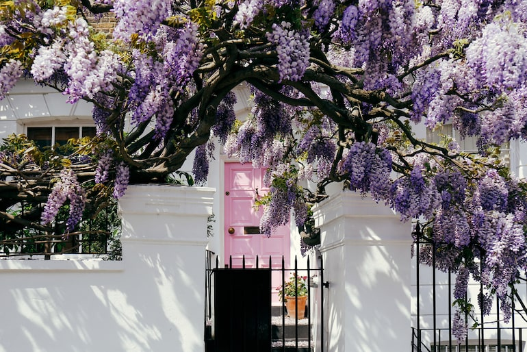 purple wisteria overhanging a pink door and white house in London