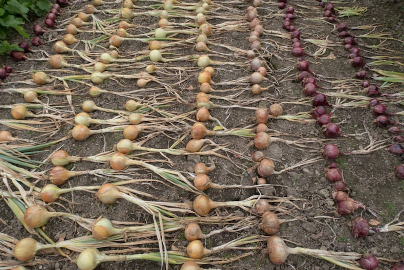 Onions left drying after harvesting