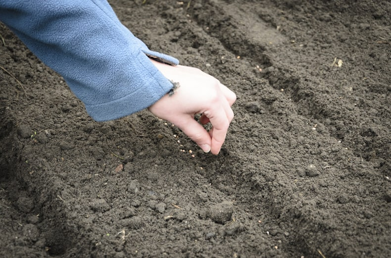 sowing onion seeds in ground
