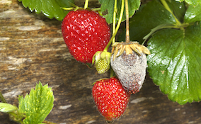 grey mould or botrytis on strawberries