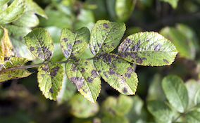 leaf covered with fungal disease