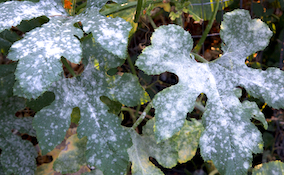 powdery mildew disease on leaves