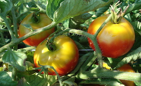 tomato greenback symptoms