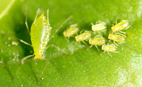 green aphids on a leaf