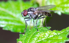 closeup of a bean leaf fly