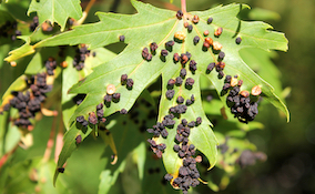 black galls on a leaf