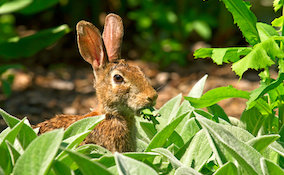 rabbit eating leaves from the garden