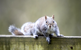 grey squirrel looking into the camera