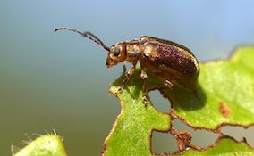 viburnum beetle on a damaged leaf