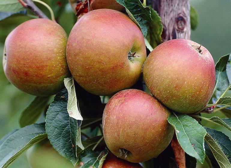 Apple 'Cox's Orange Pippin' from Thompson & Morgan