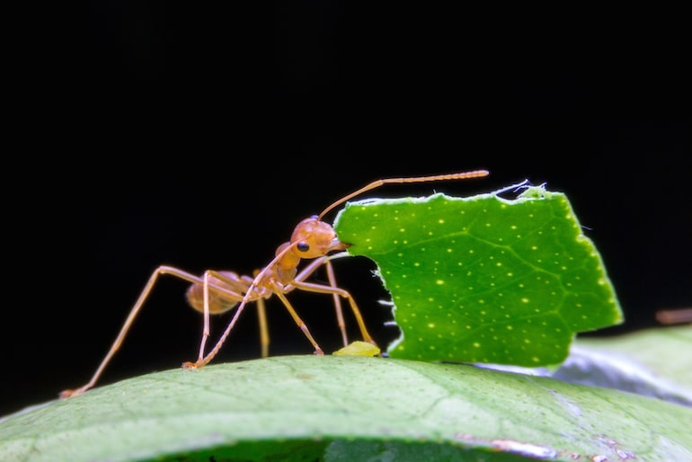 Macro image of an ant with a leaf