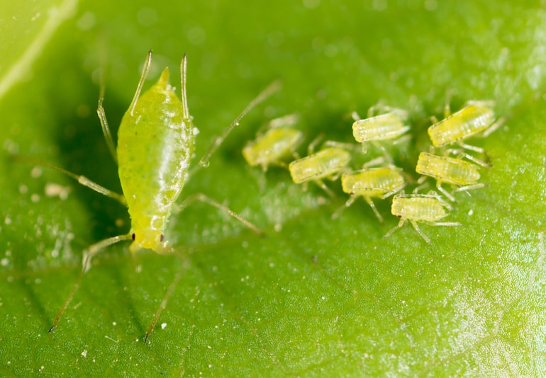 green aphid on a green leaf