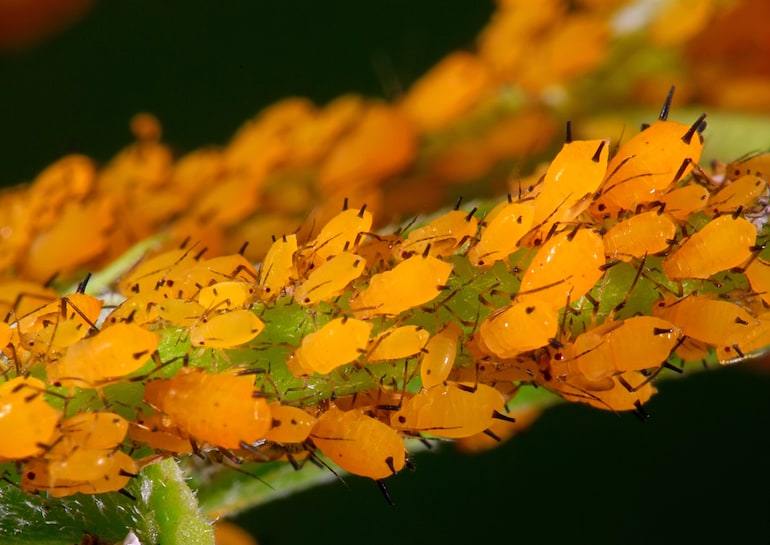 closeup of yellow orange aphids on a branch