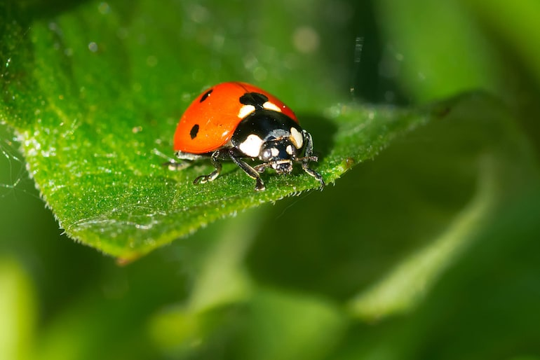 ladybird on a bay leaf