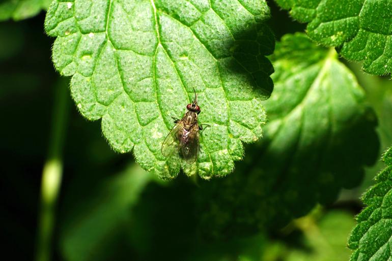 Bean seed fly sitting on a leaf