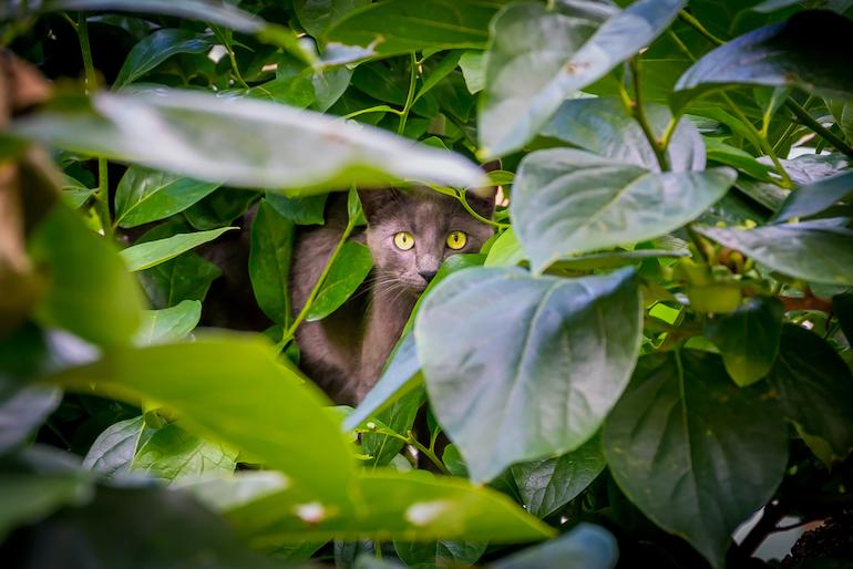 black cat peering out between green leaves
