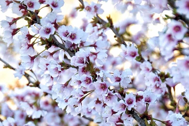 Cherry 'Kojjo-no-mai' from Thompson & Morgan