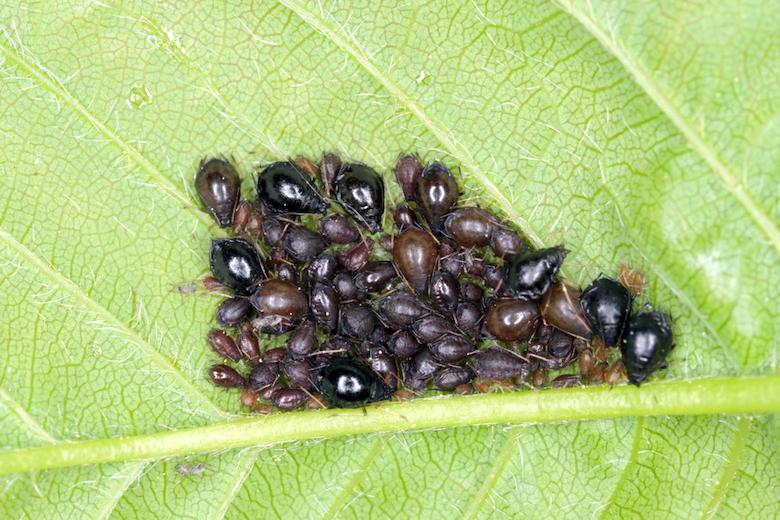 colony of cherry blackfly on a leaf
