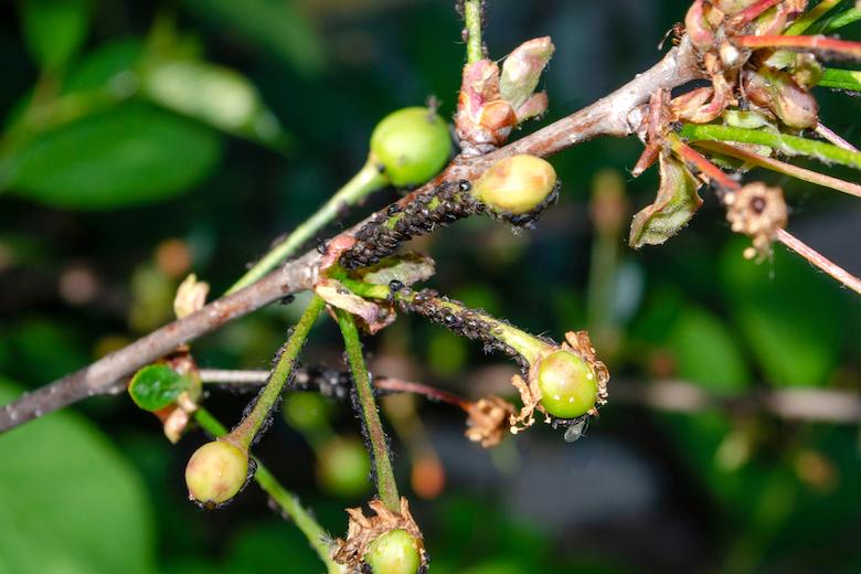 cherry blackfly covering cherry tree stems