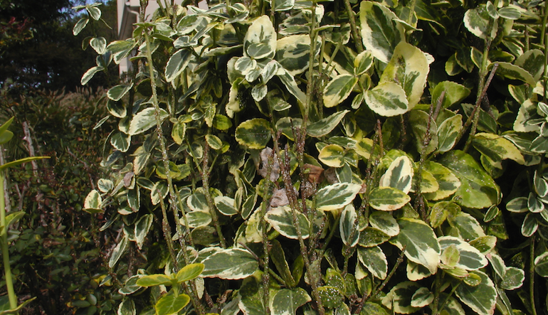 Group of euonymus plants with euonymus scale