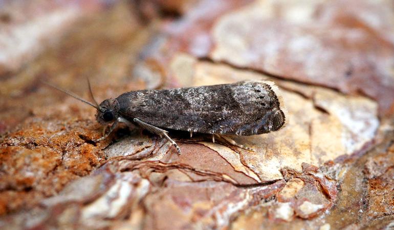 Plum fruit moth on a log