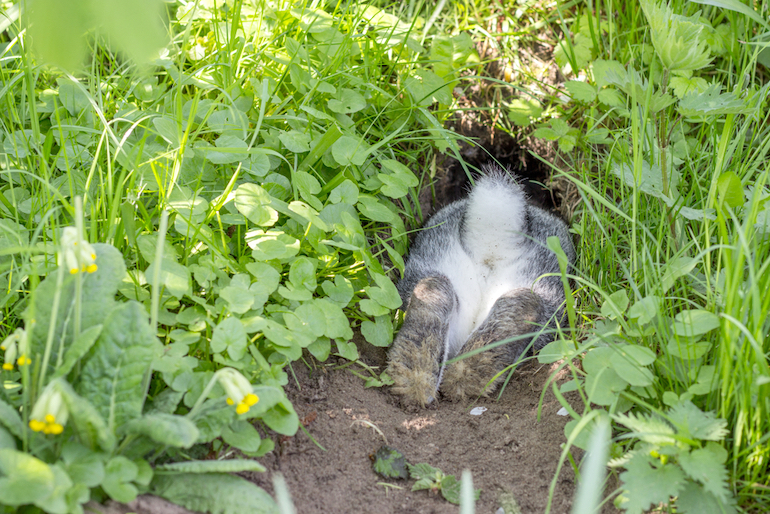 rabbit disappearing down a burrow in a lawn