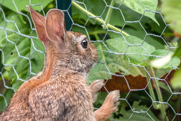 rabbit looking at crops through fencing