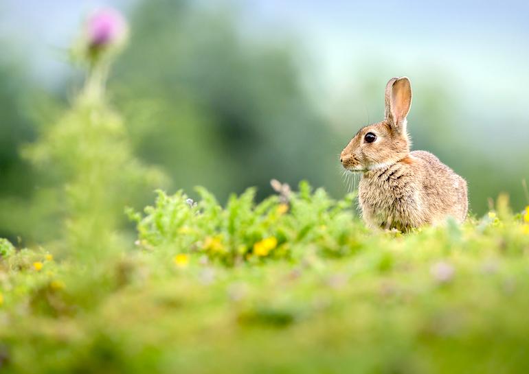 rabbit in a field