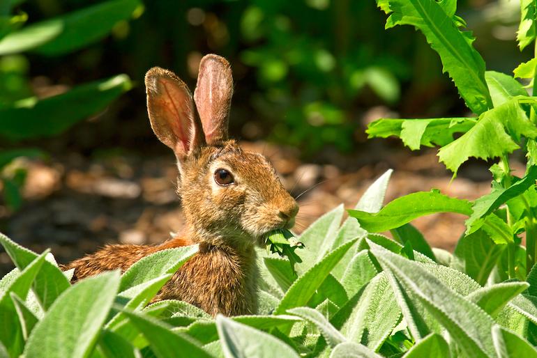 rabbit eating crops from vegetable plot