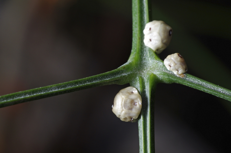 closeup of white scale insects on a leaf
