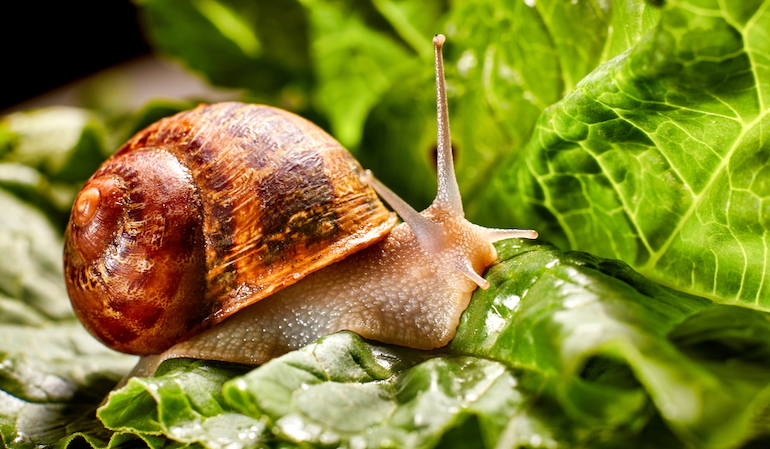 Closeup of a snail in a brown shell