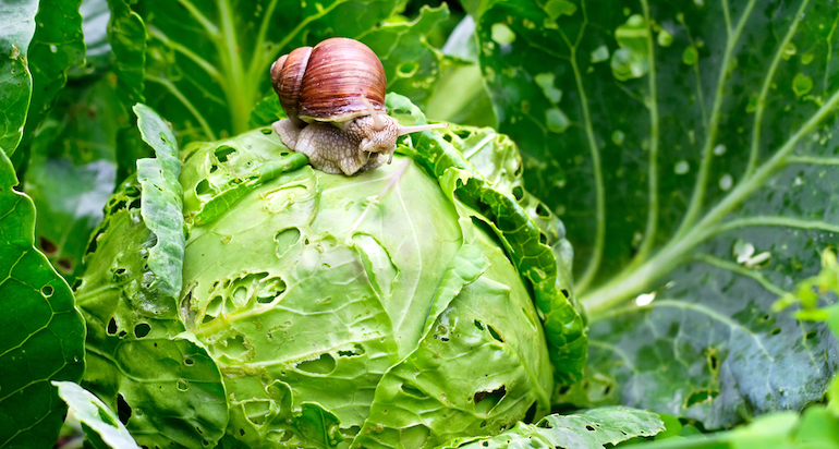 large snail on top of a cabbage that's been eaten away