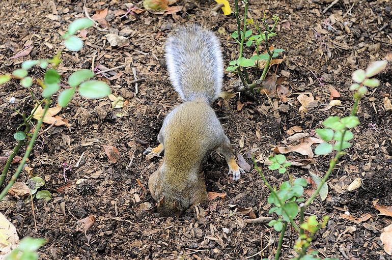 Squirrel digging in a hole