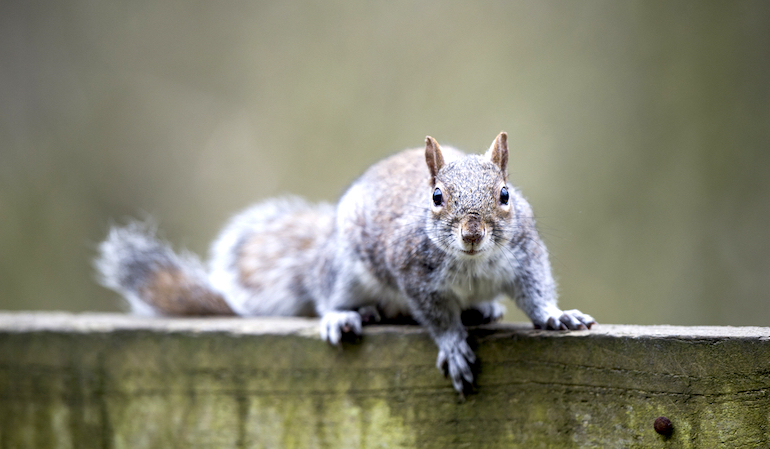 grey squirrel on a fence looking at the camera
