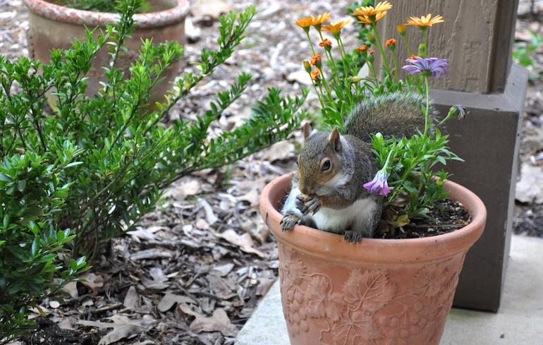 grey squirrel in a plant pot