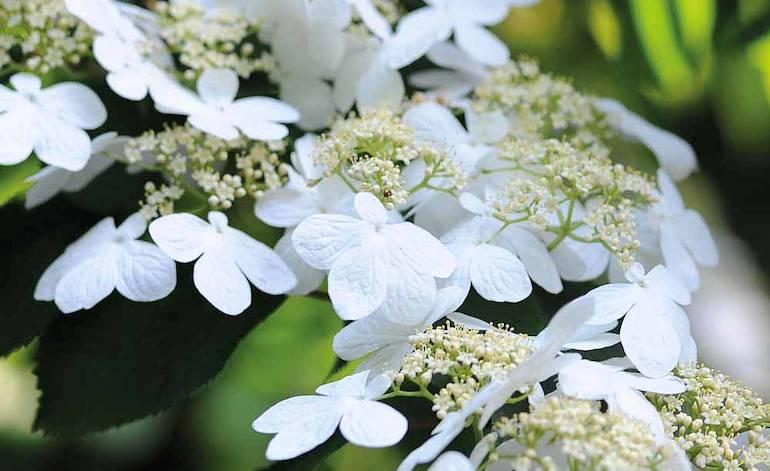Viburnum plicatum f. tomentosum 'Kilimanjaro' from Thompson & Morgan
