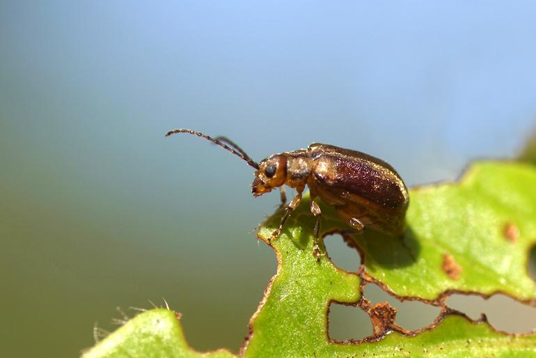 Viburnum beetle on a leaf