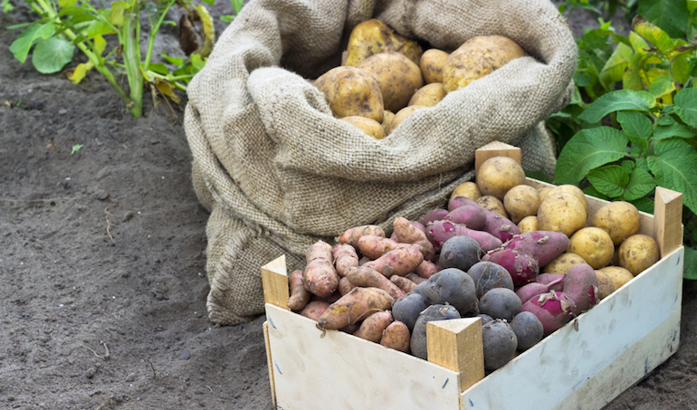 different variety of potatoes