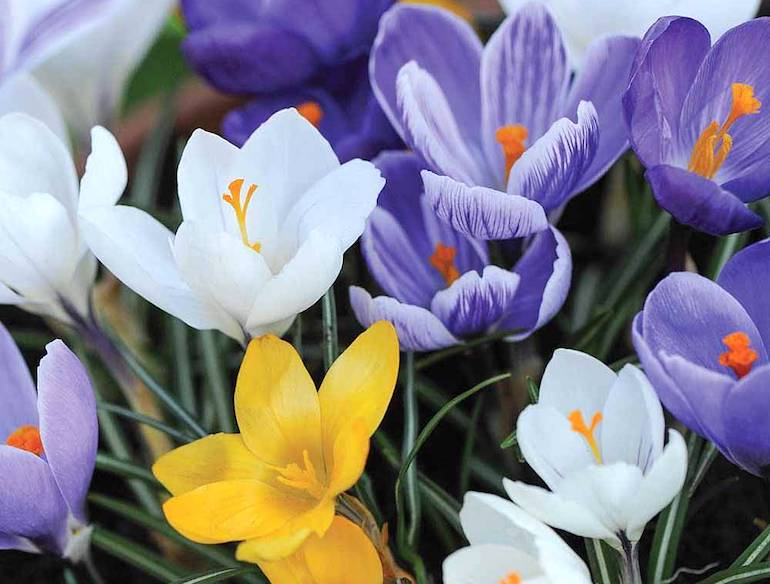 Top 10 spring flowering bulbs thompson morgan white yellow and purple crocus mightylinksfo