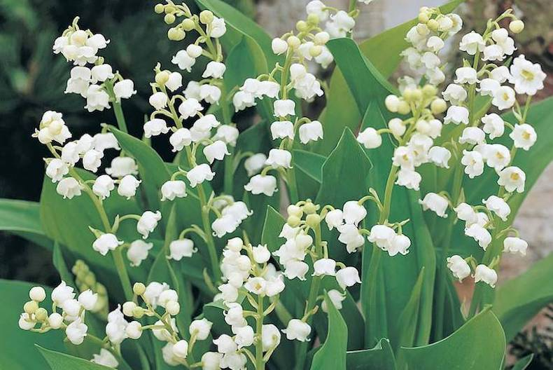 Top 10 spring flowering bulbs thompson morgan white and green lily of the valley mightylinksfo