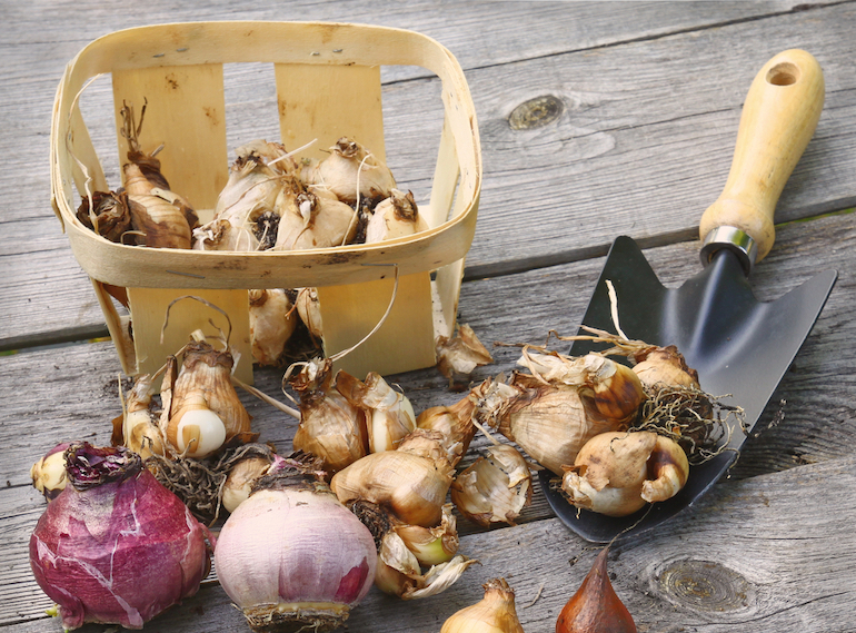basket of assortment of bulbs before planting