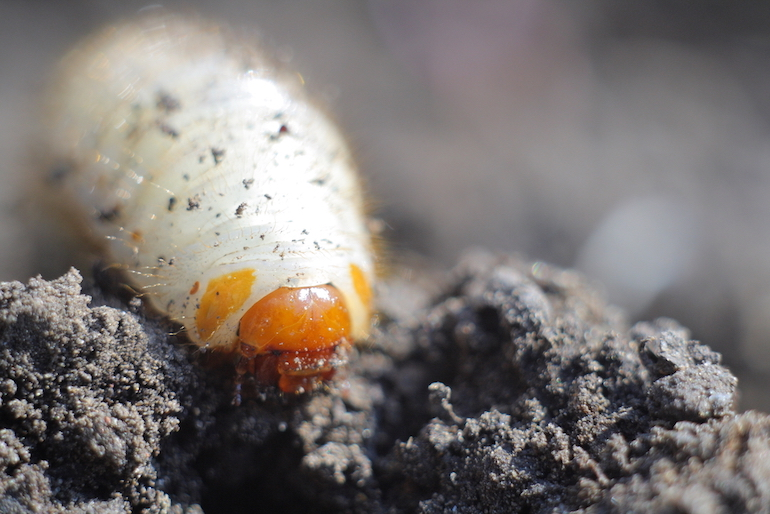 closeup of white vine weevil larvae on dirt